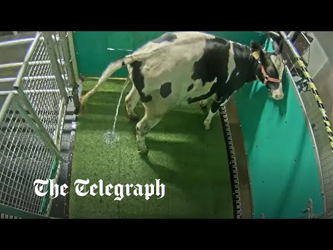 Cows can be 'potty trained' in discovery which could help save the planet