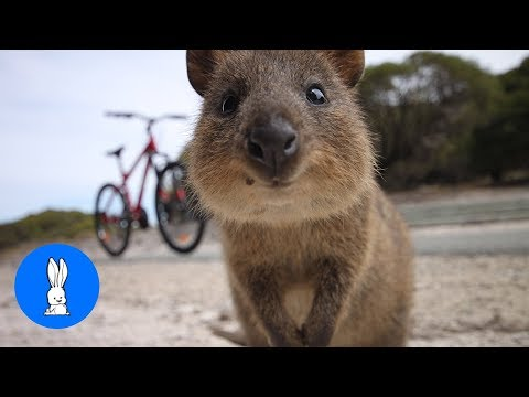 ULTIMATE Quokka Selfie Compilation - TRY NOT TO AWW!