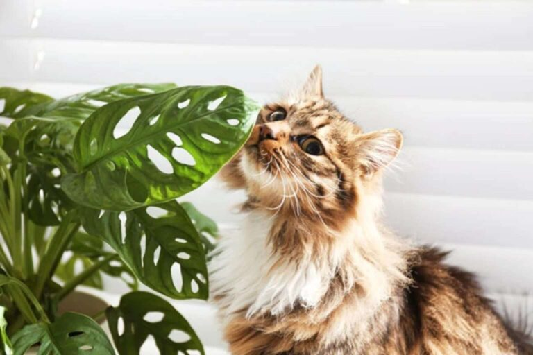 Is Swiss Cheese Plant AKA Monstera toxic to cats?