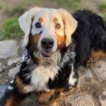 A Bernese Mountain Dog with Vitiligo, a Skin Disease that Causes Skin and Hair Pigmentation Loss