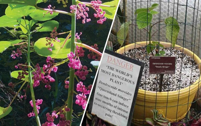 Gympie Gympie: Most Dangerous Plant in the World? one touch of a Gympie plant sting will result in 9 months of throbbing pain