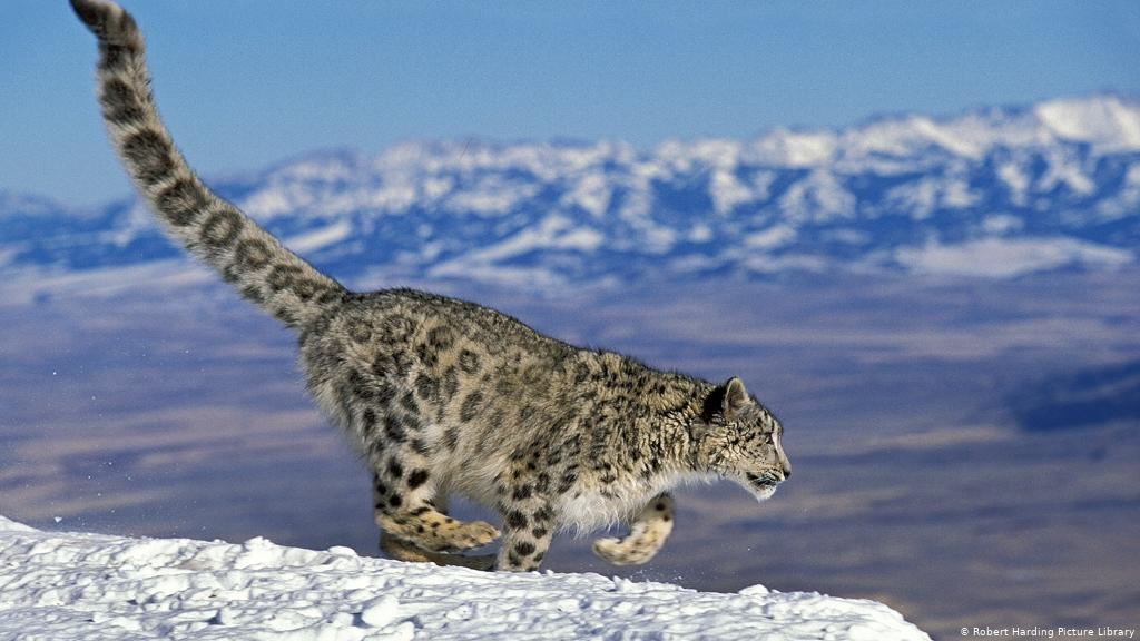 Snow Leopards with Tails Nearly as long as Their Bodies 1
