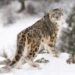 Snow Leopards with Tails Nearly as long as Their Bodies