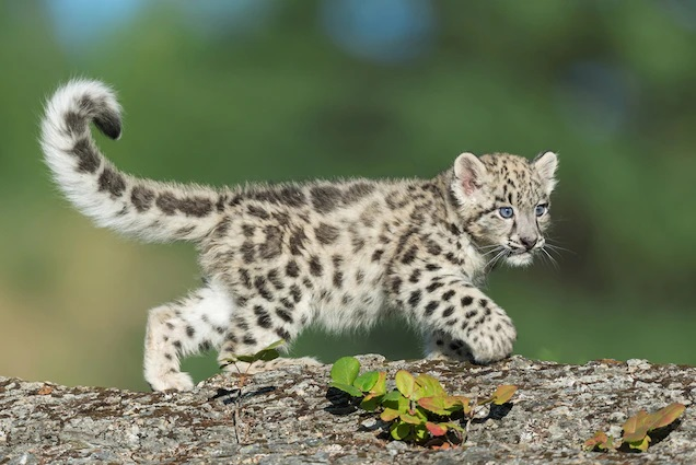 Snow Leopards with Tails Nearly as long as Their Bodies 4