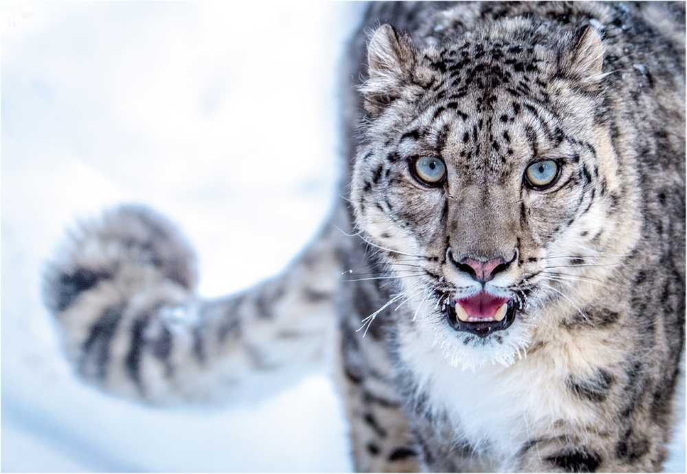 Snow Leopards with Tails Nearly as long as Their Bodies3