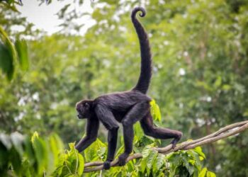 Spider Monkey Tail Lengths More than their Body, which Acts as their Fifth Limb