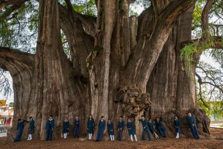 Arbol del Tule: The Biggest Tree in the World by Width