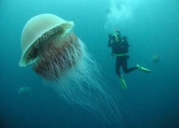 Lion's Mane Jellyfish: The World's Largest Jellyfish Ever Recorded