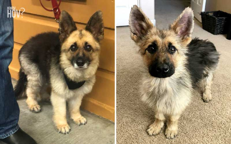Adult German Shepherds diagnosed with Dwarfism is the Most Adorable thing Ever