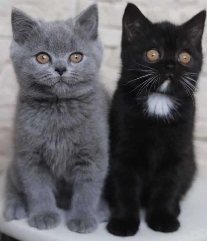 Narnia: A Bicolor Cat has become the Father of Two Kittens With The Same 2 Colors