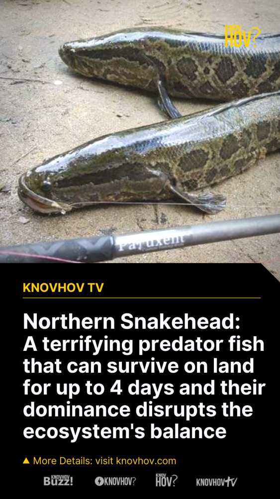 Northern Snakehead A Fish that can Survive on Land & How does the Northern Snakehead affect the Ecosystem
