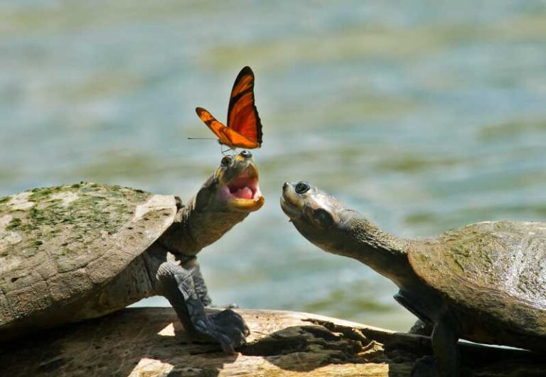 Why do Butterflies Drink the Tears of Turtles?