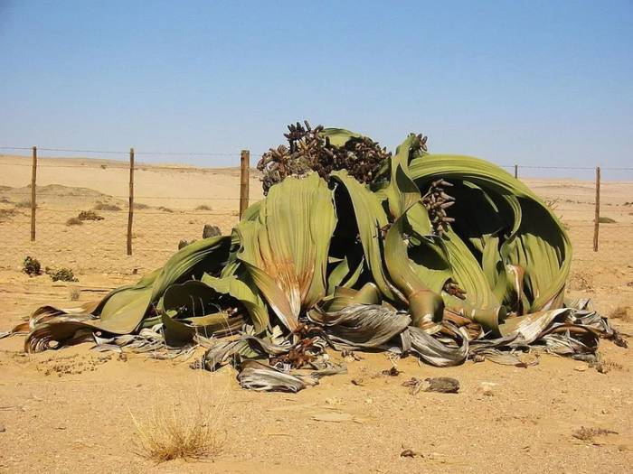 Welwitschia,  A plant with Two Leaves that Never Fall off and Keep Growing for Over 1000 years