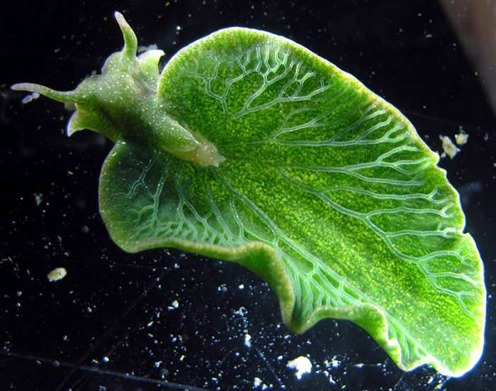 A slug, which looks like a leaf, can survive for months without eating because it can photosynthesize like a plant