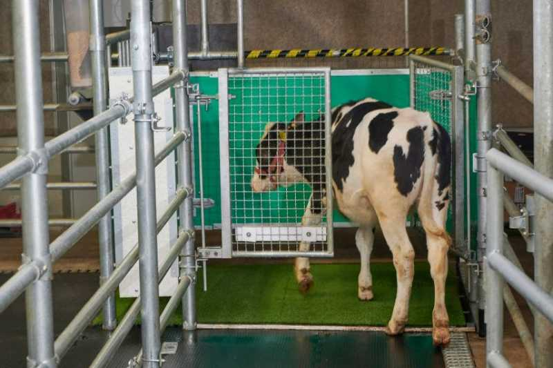 Cows Trained to Use Toilets to Help with Reducing Greenhouse Gas Emissions