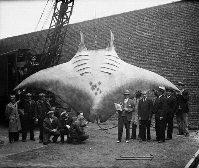 Giant Oceanic Manta Rays can Reach a Wingspan of 30 feet and Weigh More than 6,000 pounds
